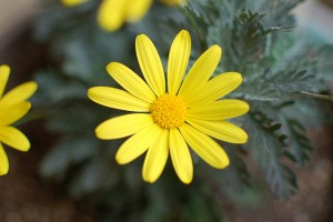 Gray-leaved-euryops-01