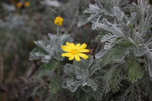Gray-leaved euryops-03
