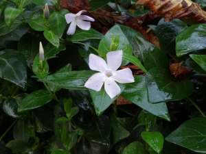 Greater periwinkle-03