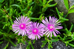 Trailing ice plant-02