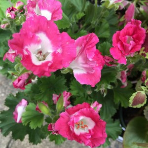 Fancy-geranium-03