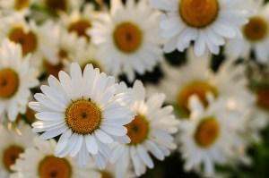 Shasta daisy-01