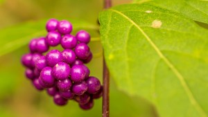 Japanese beautyberry-03