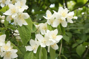 Satsuma-mock-orange-01