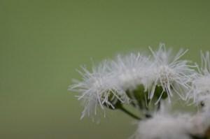 Floss flower-02