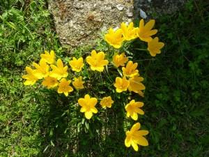 Autumn daffodil-01