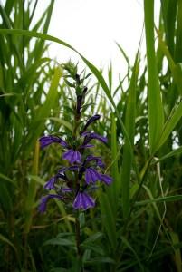Lobelia sessilifolia-03