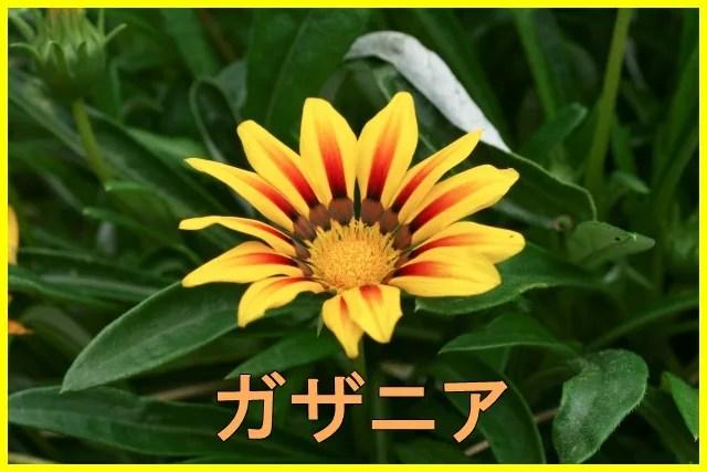 ガザニアの花が咲かない原因は?育て方や株分けでの増やし方も紹介!7