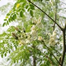 An adult Moringa tree