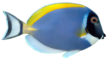 Powde Blue Tang