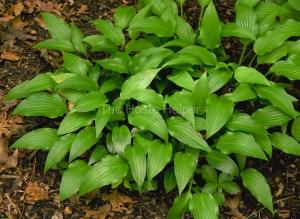 Low dense green Hosta leaves