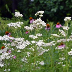 White yarrow blooms with bee balm in the background