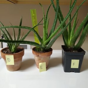 """Succulent, taller than 12"""" in square black pot"""