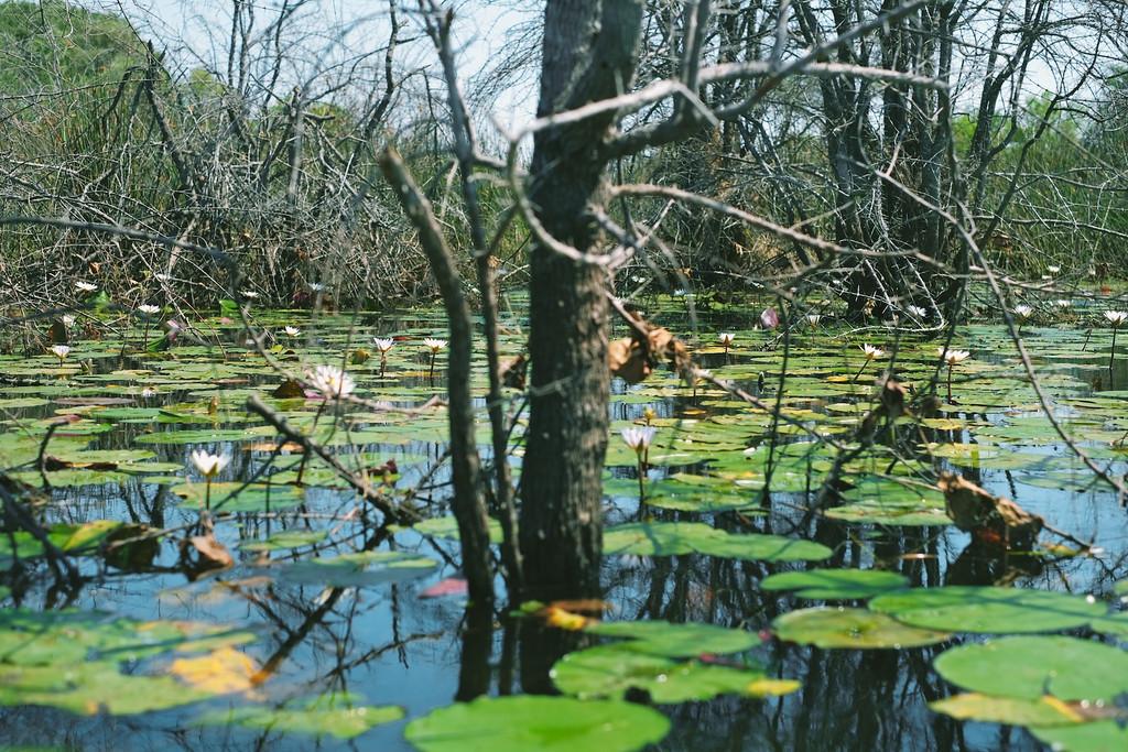 lily pad pond in the okavango delta, botswana, africa