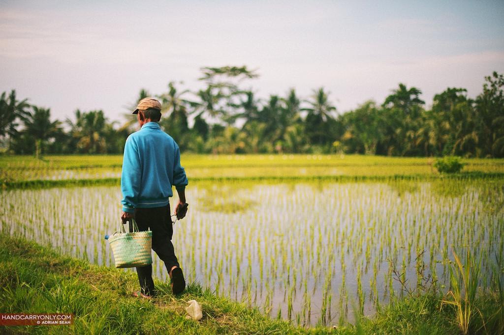 man on rice paddy
