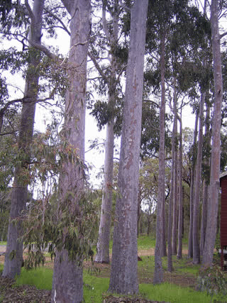 Spotted Gum Plantation Timber trees