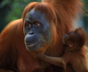 Photo of Sumatran Orangutan with child photo from GRASP