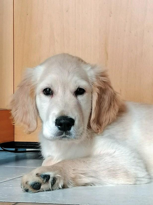 Photos de mon chien Django à 3 mois en gros plan. C'est un golden retriever crème. Il regarde vers l'objectif avec curiosité