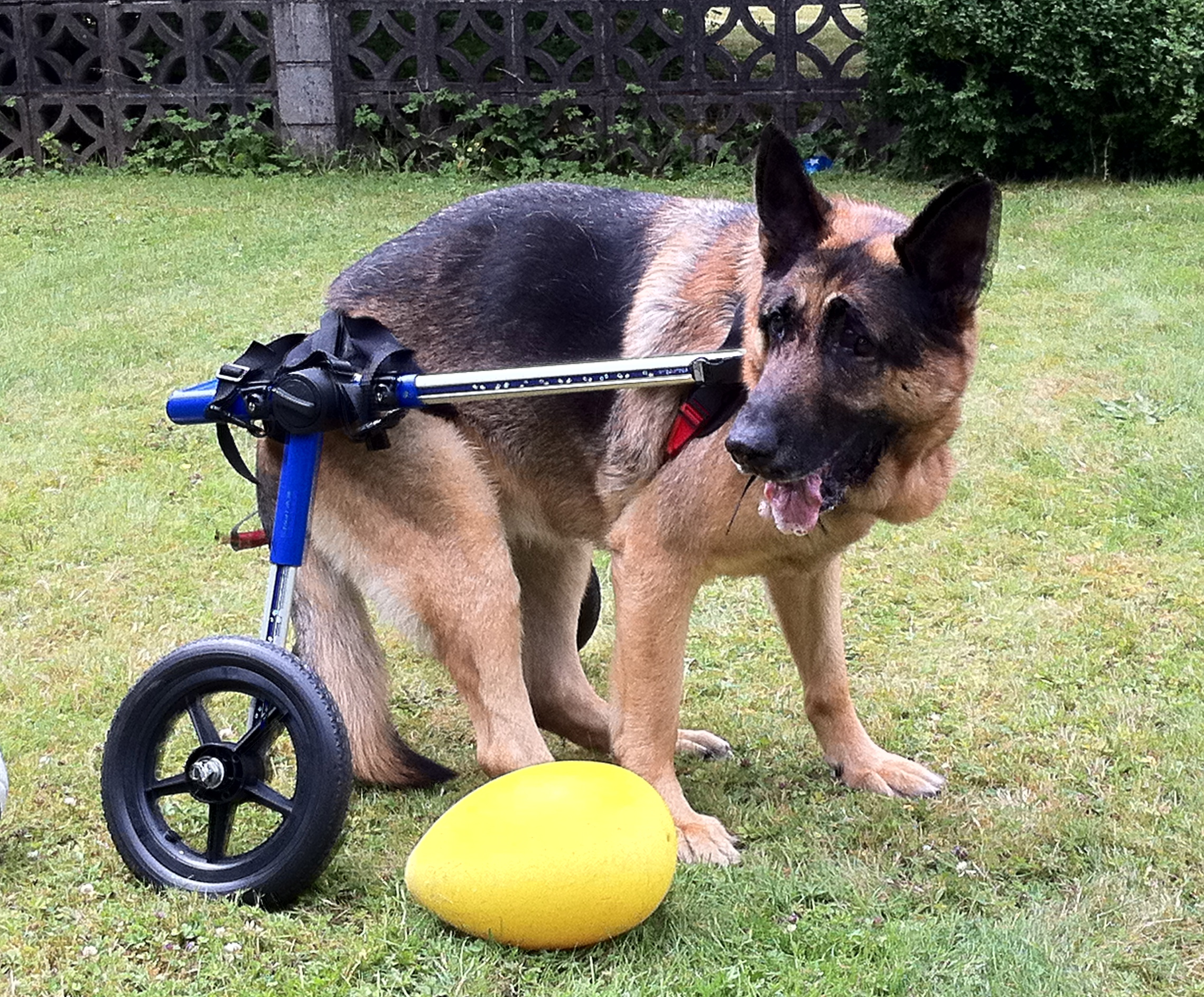 wheelchair dog adjustable office chair wheels for rear legs wheelchairs carts