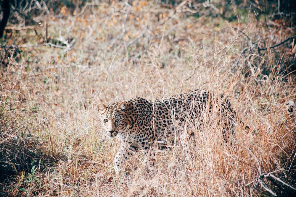 Seeing The Big 5 On Safari In Kruger National Park, South Africa - African Elephants, Black/White Rhinoceros, Lions, Leopards and Buffalos (4)