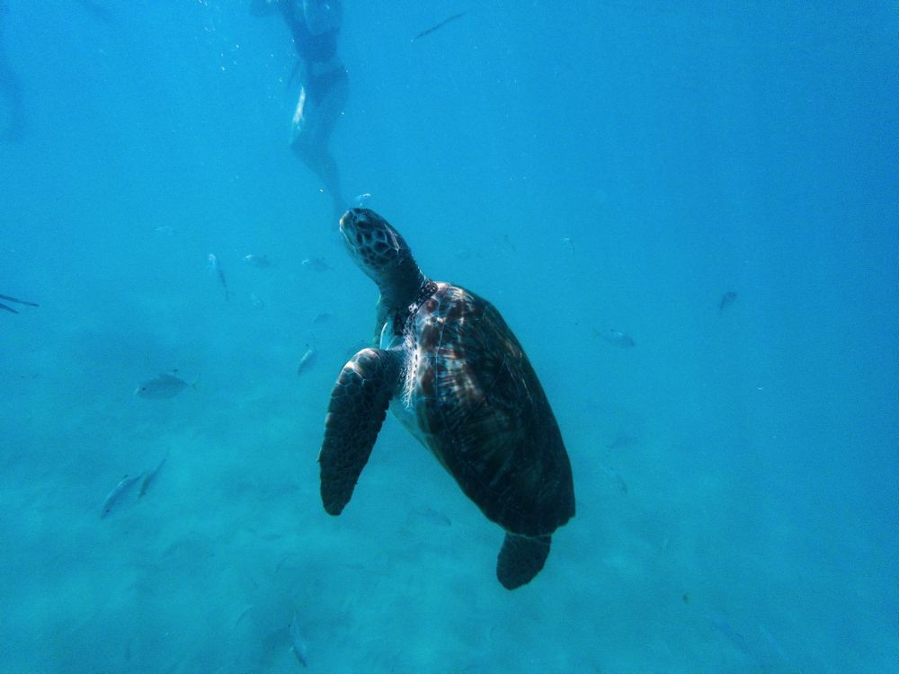 Sailing In Barbados - Swimming With Turtles and Puffer Fish (2)