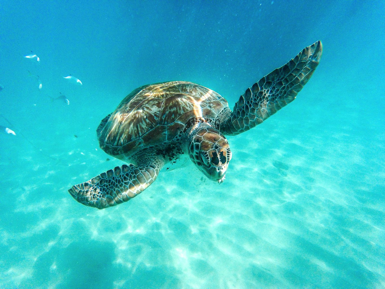 Sailing In Barbados - Swimming With Turtles and Puffer Fish (21)