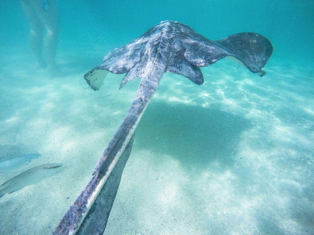 How To Swim With Wild Stingrays In Antigua (41)