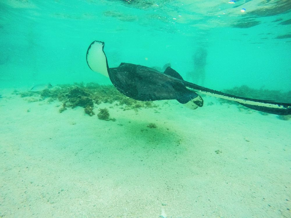 How To Swim With Wild Stingrays In Antigua (29)
