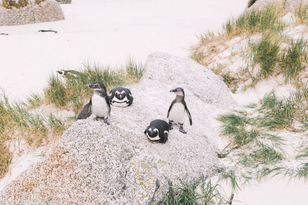 How To Visit Penguin Beach In South Africa (9)