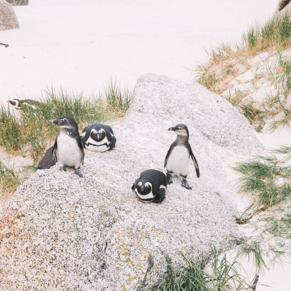 How To Visit Penguin Beach In South Africa (14)