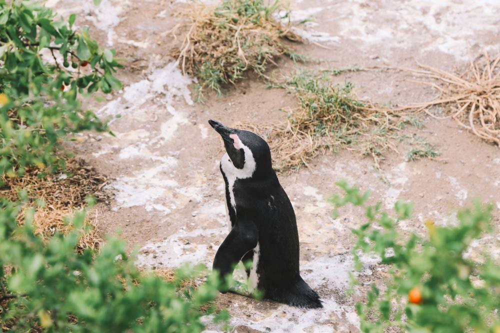 How To Visit Penguin Beach In South Africa (1)