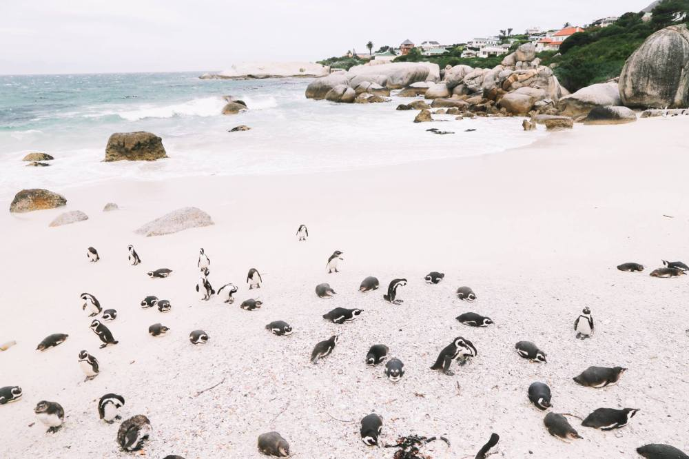 How To Visit Penguin Beach In South Africa (7)