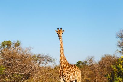 Midnight Lions, Skittish Giraffes And The Deadliest Of The Safari Big 5 In South Africa (42)