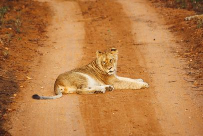 What's It Like To Be Stuck In A Pride Of Lions On Safari In South Africa? (7)