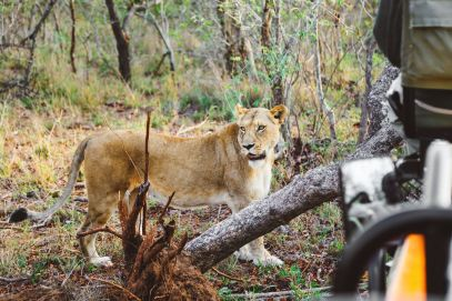 What's It Like To Be Stuck In A Pride Of Lions On Safari In South Africa? (14)