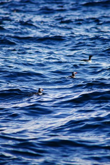 Where To Find Puffins In Norway! (25)