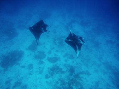Swimming With Manta Rays And Dolphins In The Maldives (5)