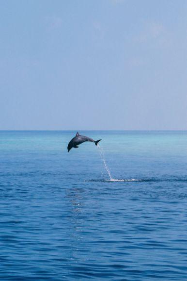 Maafushivaru, Birthing Dolphins And Swimming With Manta Rays... In The Maldives (44)