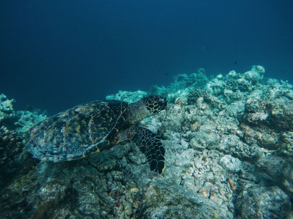 Swimming With Wild Turtles And Those Amazing Island Colours... At Kandolhu Island, Maldives (29)