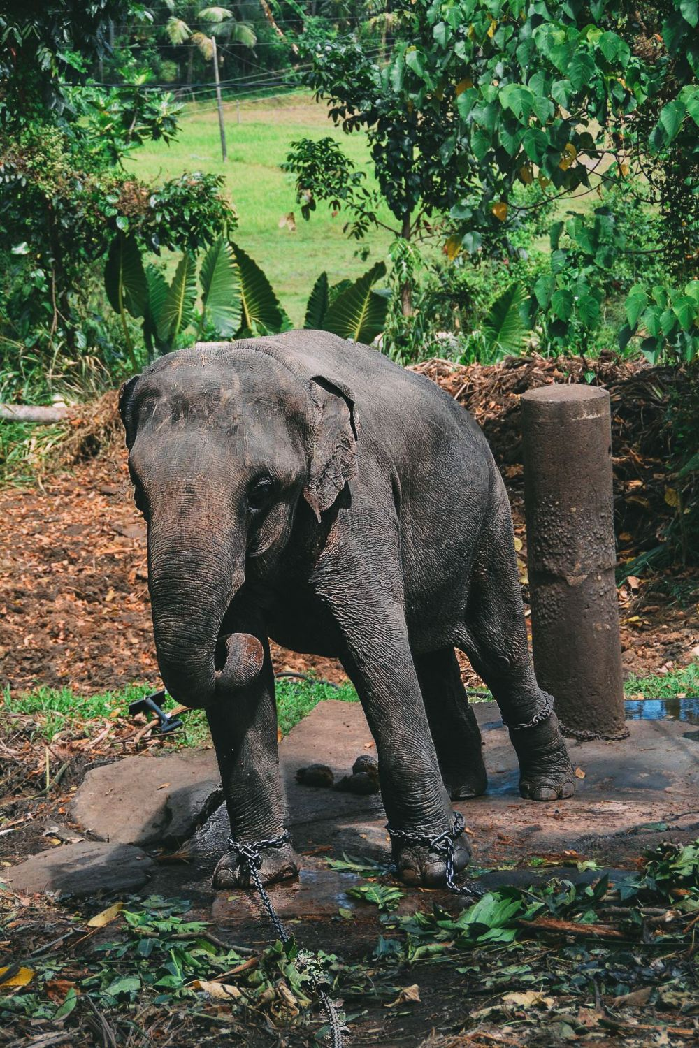 Here's Why You Should Never Visit Pinnawala Elephant Orphanage In Sri Lanka (4)