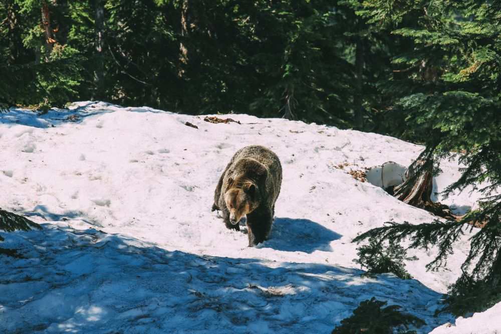 Finding Grizzly Bears On Grouse Mountain... In Vancouver, Canada (21)