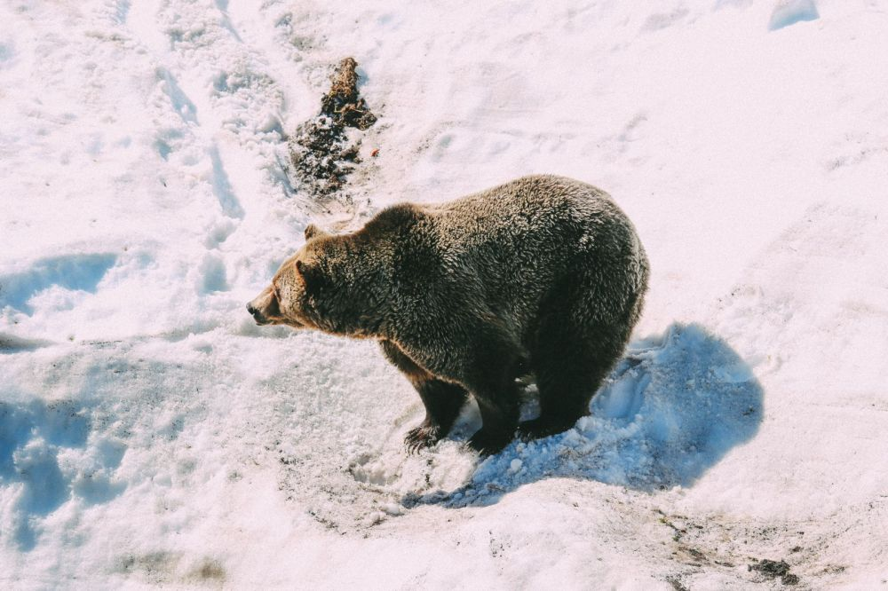 Finding Grizzly Bears On Grouse Mountain... In Vancouver, Canada (25)