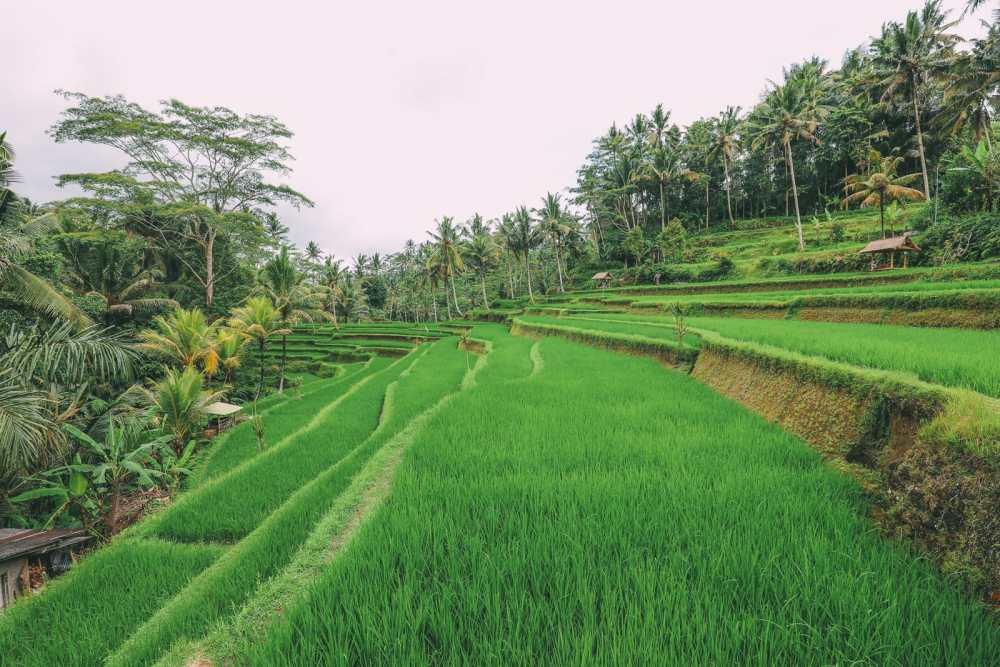 Bali Travel - Tegalalang Rice Terrace In Ubud And Gunung Kawi Temple (45)