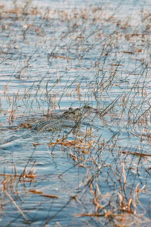Searching For Wild Alligators in Florida (11)