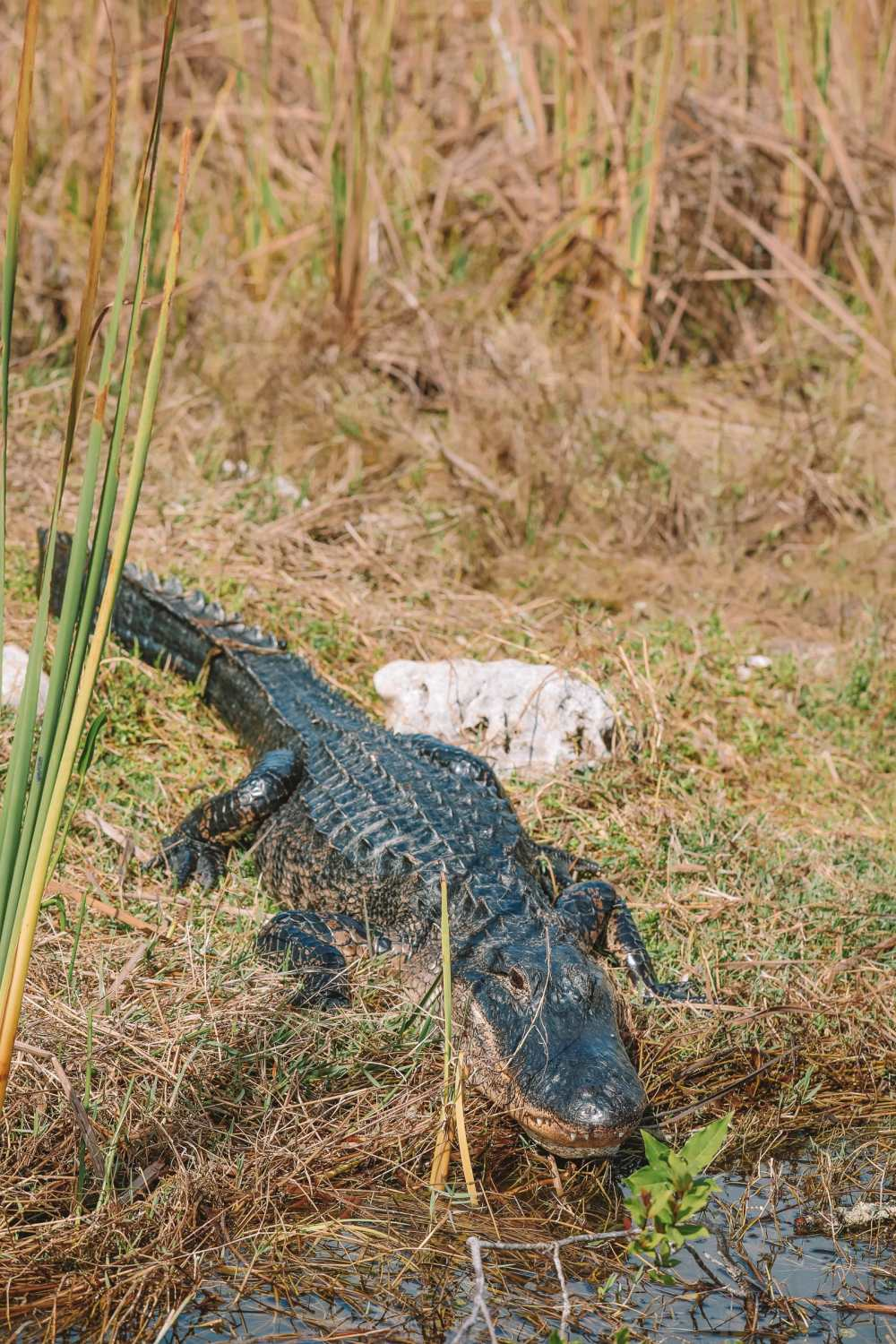 Searching For Wild Alligators in Florida (17)