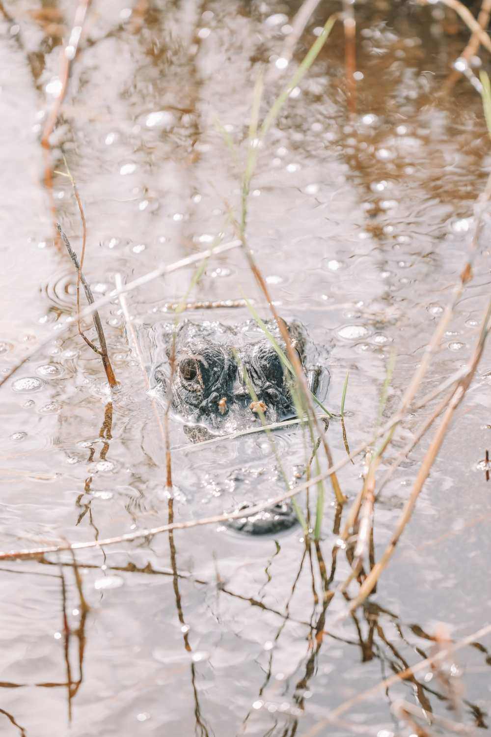 Searching For Wild Alligators in Florida (22)