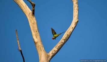 Plum faced Parakeet spotted near timber depot of Dandeli town