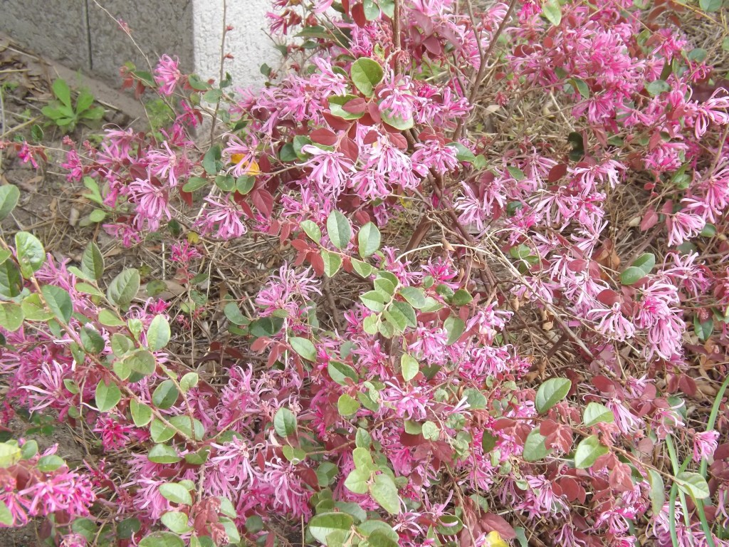Loropetalum Chinese Fringe Flower Handschin Farm
