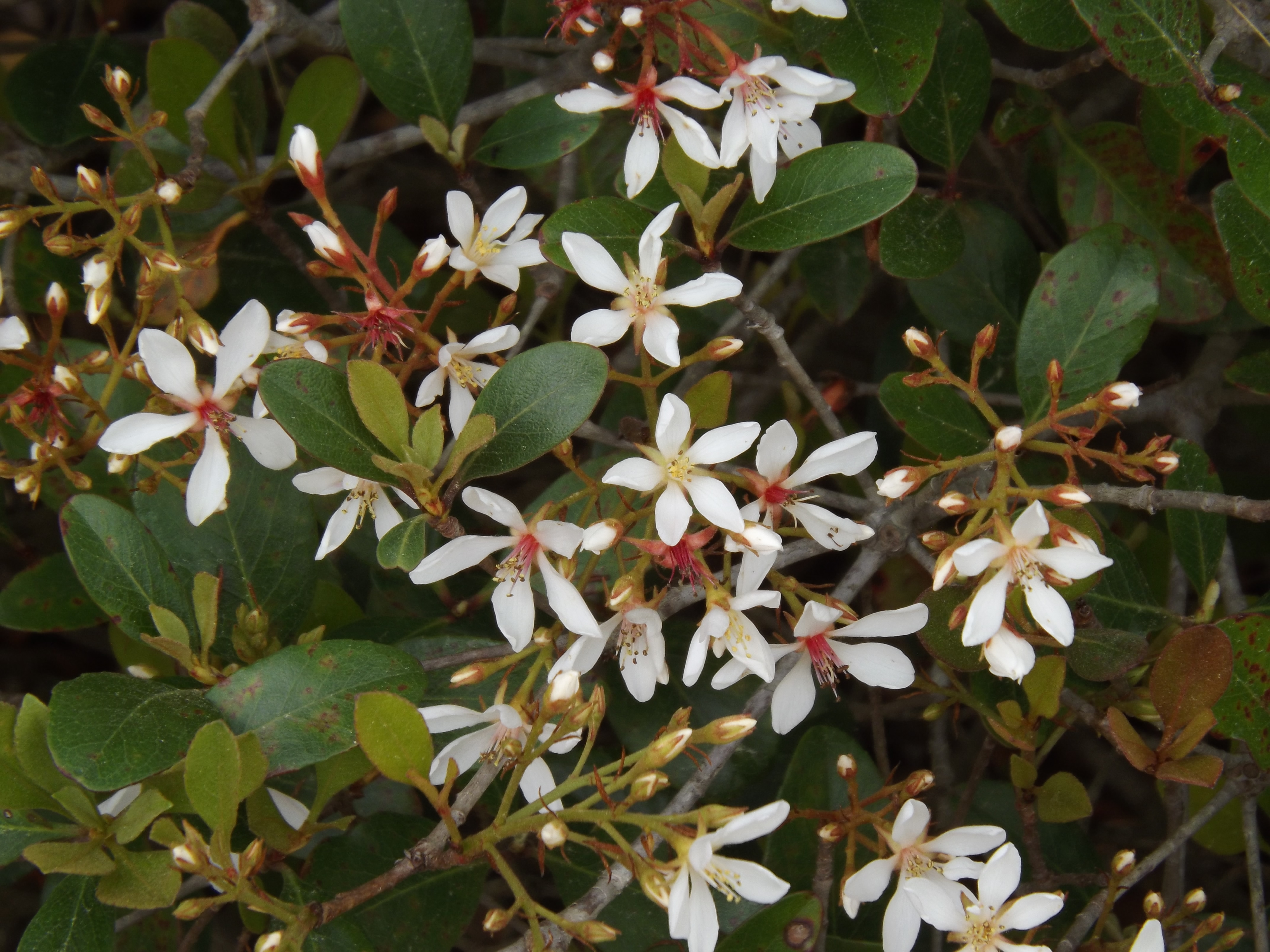 Picture of Live Clara Indian Hawthorne aka Rhaphiolepis i. 'Clara' Shrubs Plant Fit 5 Gallon Pot