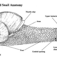 Slug Anatomy Diagram Wiring For Outside Light With Pir Sea Snail Great Installation Of Muscle Schema Diagrams Rh 78 Pur Tribute De Land Water